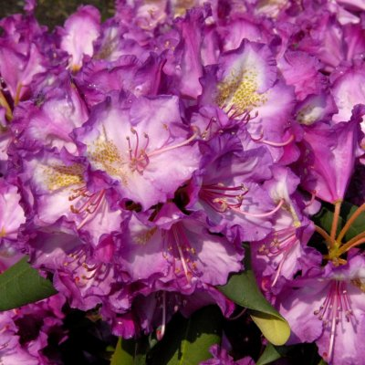 Rhododendron (Y) 'Bohlken´s Lupinenbg'-R-