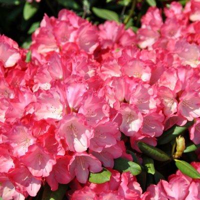 Rhododendron (Y) 'Fantastica'