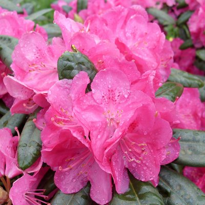 Rhododendron 'Homer'