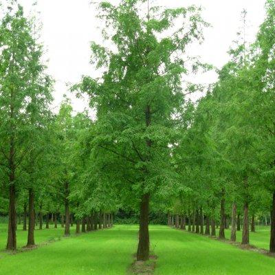 Metasequoia glyptostroboides – Chinese moerascipres