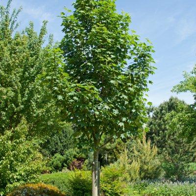 Acer pseudoplatanus 'Bruchem'