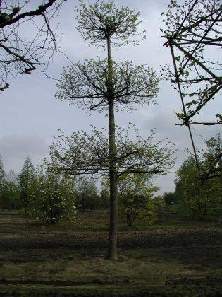 Tilia Cordata 2