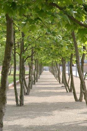 Meerstammige Bomen 9