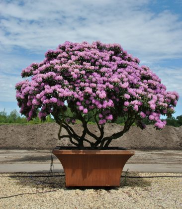 Boomrhododendron in boombak