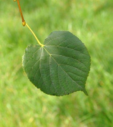 Tilia Cordata Savaria 1